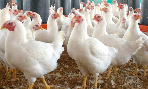 تأمین نصف نیاز کشور به مرغ گوشتی با عرضه جوجه آریان از آبان