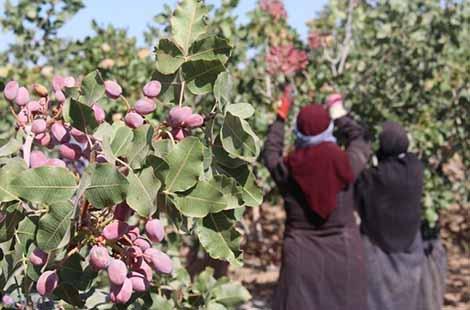 خسارت 23 هزار میلیارد ریالی کرونا به بخش گل و گیاه پسته در 28 استان کشت میشود