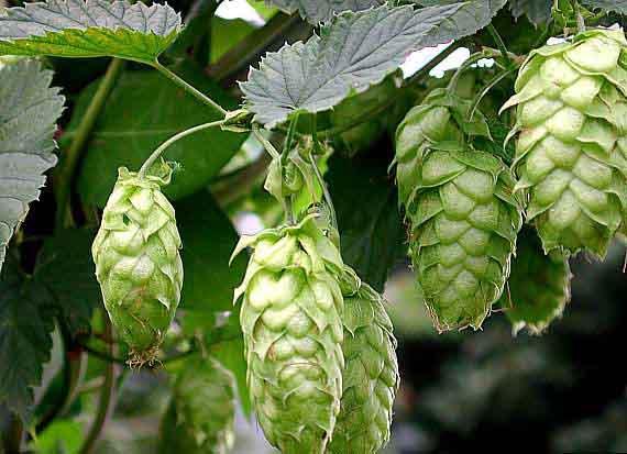 زراعت گیاهان داروئی رازک