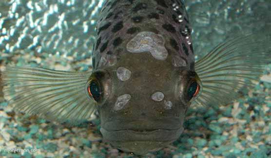 چگونگی تنفس ماهی در آب
