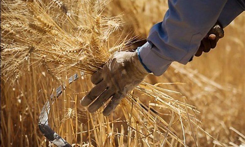 گندمکاران دولت یا گندم ما را به قیمت جهانی بخرد یا اجازه صادرات بدهد