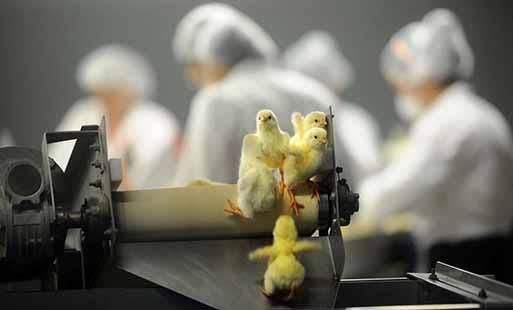زیان تولیدکنندگان جوجه به بالای ۴۵۰ میلیارد تومان رسید
