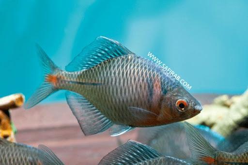 ماهی بی ترلینگ