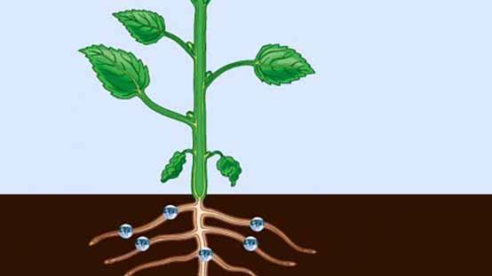 تأثير عوامل گياه در قابليت جذب پتاسيم