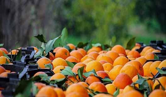 صادرات روزانه 40 کانتینر مرکبات از مازندران