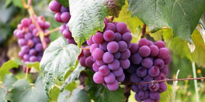 قدمت ۶۰۰۰ ساله یکی از میوههای بهشتی در ایران