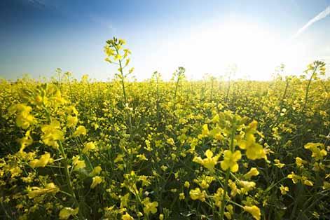کشت گیاهان جدید برای تامین روغن و کنجاله مورد نیاز کشور
