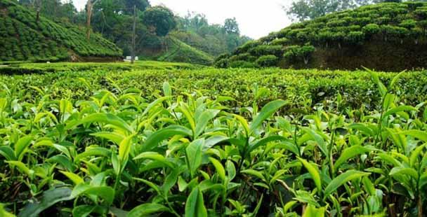 گردش مالی صنعت چای ایران ۲ تا ۳ هزار میلیارد تومان است