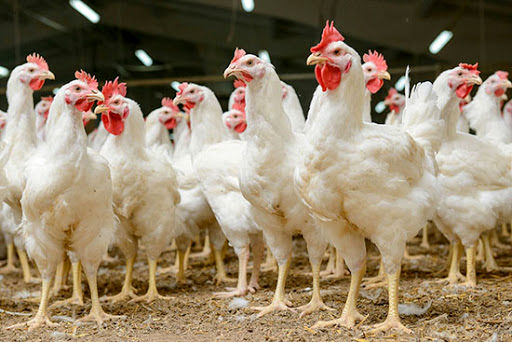 تضمین آینده صنعت مرغداری با توسعه پرورش مرغ لاین از نژاد آرین