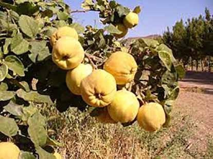 تولید 200 تن محصول بِه در شهرستان هوراند