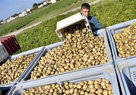 صادرات سیب زمینی به عراق آزاد شد هشدار اتاق بازرگانی بیش از اندازه صادر نکنید