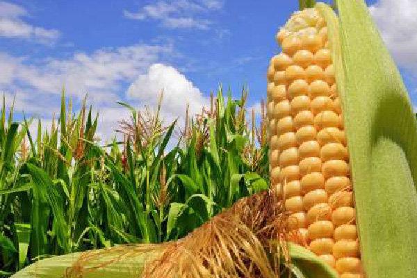 پیشبینی تولید ۱۴.۷ میلیون تن ذرت دانهای و سیلویی در سال جاری