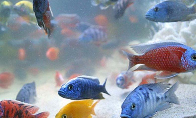۹۰ درصد از ماهیان زینتی کشور در استان مرکزی تولید می شود