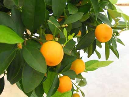 از لیموترش محلی تا پرتقال والنسیا؛ فصل برداشت مرکبات خوزستان