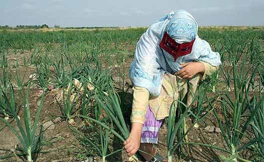 برداشت پیاز از زمینهای کشاورزی هرمزگان آغاز شد