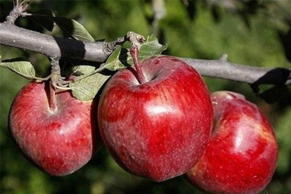 رتبه دوم آذربایجان شرقی در تولید سیب کشور