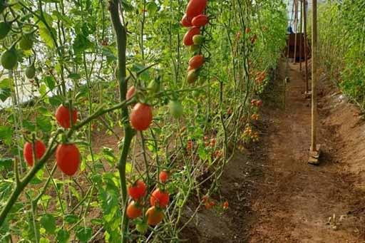 پردیس گیلان خطهای برای توسعه باغهای شیشهای