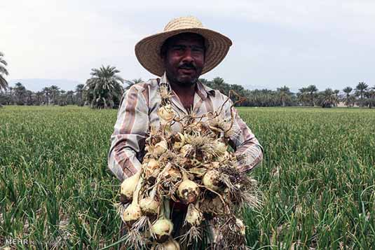 پیاز اشک کشاورزان را درآورد/ کشاورز «آه» در بساط ندارد