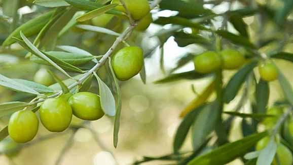 پیوند کشاورزی یزد کم آب با توسعه کشت زیتون