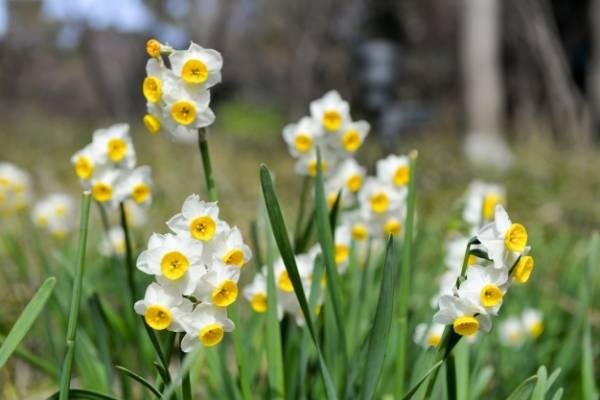 گلهای نرگس از خوسف تا دُبی