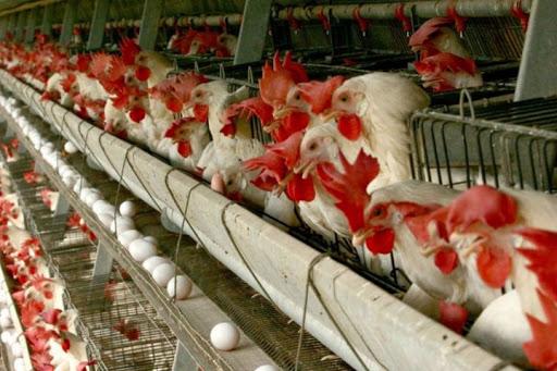 افزایش قابل توجه هزینههای پرورش مرغ تخمگذار