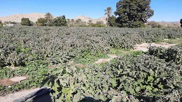 تازیانه سرما بر جان محصولات کشاورزی هرمزگان