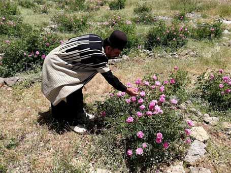 توسعه کوهرنگ با کشت گیاهان دارویی