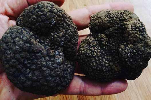 خروج غیرقانونی قارچ گران قیمت ترافل از کشور به نام سیب زمینی