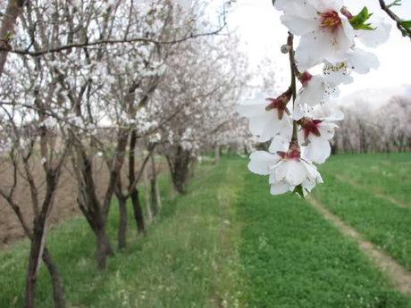 شکوفه دادن درختان بادام سامان در دل زمستان
