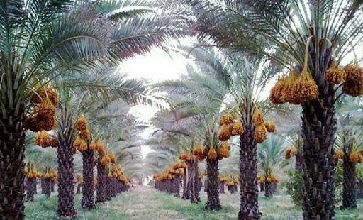 """""""نخلستان"""" طرحی برای نجات باغهای خرمای بوشهر"""