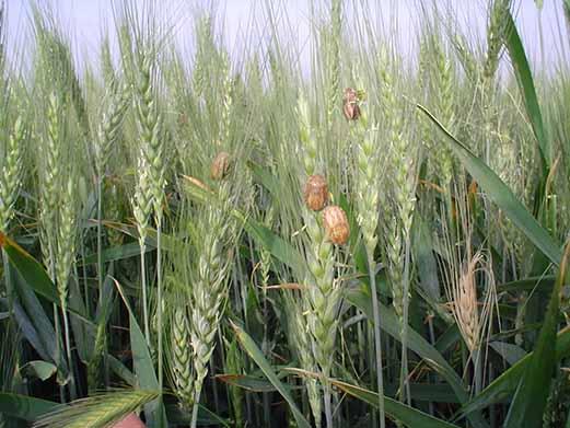 پیش بینی افزایش سن گندم در مزارع خراسان شمالی با توجه به افزایش دما