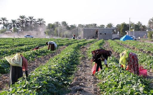 ۵ تولیدکننده نمونه کشوری بخش کشاورزی هرمزگان تجلیل شدند