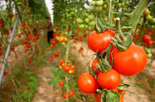 تحقق ۹۱ درصدی برنامه تولید سبزی و میوههای گلخانهای