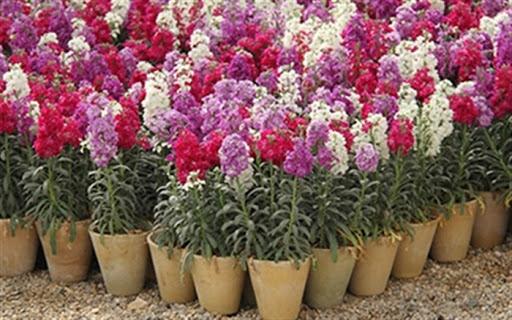 خمینی شهر بزرگترین تولیدکننده شب بوی گلدانی در کشورunnamed