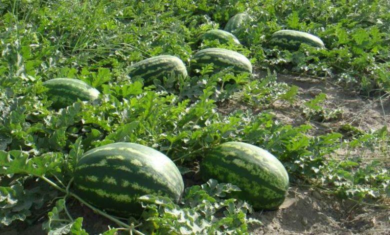 کاشت هندوانه در شهرستان ارزوئیه