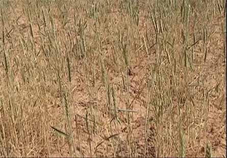 آسیب خشکسالی به بیش از ۱۰۰ هزار هکتار از اراضی گندم دیم خوزستان