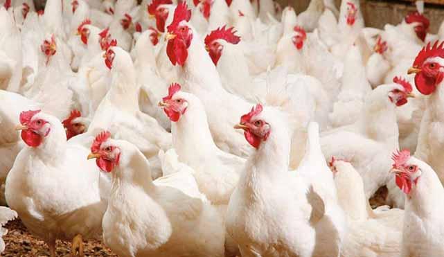 اختلاف قیمت مرغ در استانهای مختلف دردسرساز شد