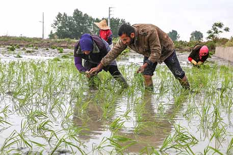 افزایش ۳۰۰ درصدی دستمزد نشاء برنج در مازندران