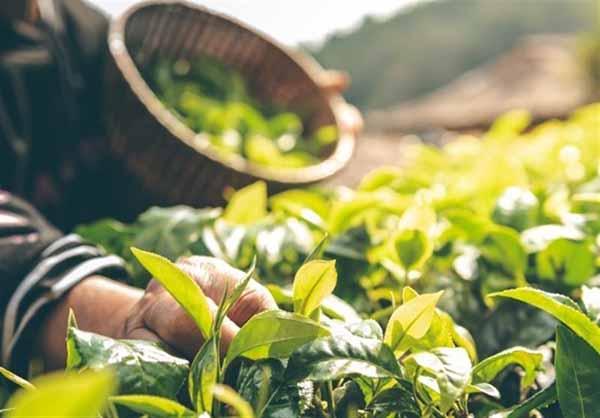 توسعه کشت گیاهان داروئی با هدف افزایش بهرهوری و درآمد کشاورز در خراسان رضوی