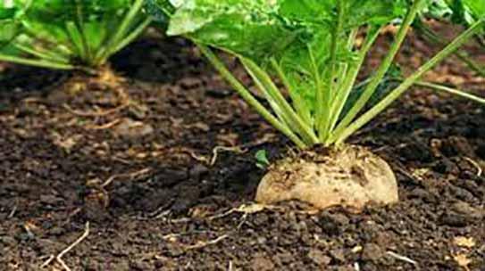 رقم هیبرید چغندر پاییزه با همکاری محققان کشاورزی دزفول معرفی شد