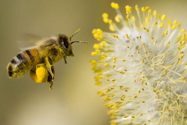 زنبورداری عسل مازندران در مرحله بازسازی قرار گرفت