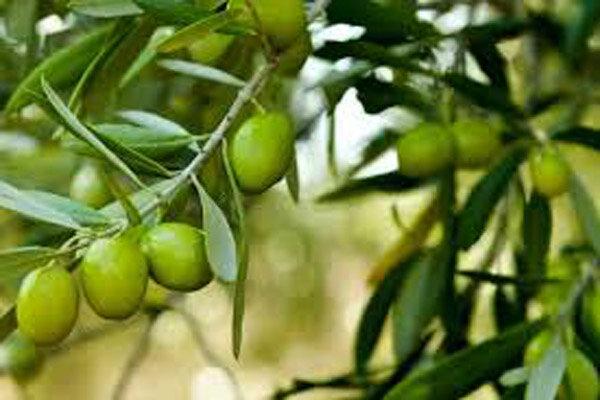 زیتون بهترین درخت برای آبخیزداری است