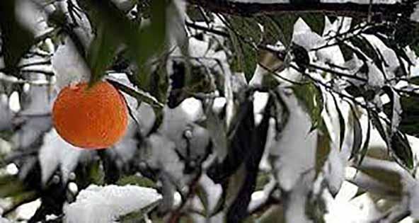 سرما و یخبندان بهاره آفات را از باغهای مازندران دور کرد