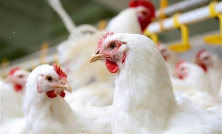 مرغ چرا گران شد؟