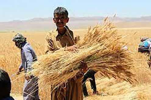 موانع تولید در قطبهای کشاورزی کشور پول گندمکاران با سه ماه تأخیر پرداخت میشود