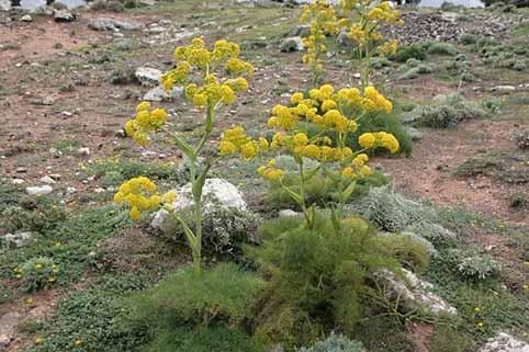 کشت گیاهان دارویی در خشکسالی، بهترین موقعیت کشاورزی است