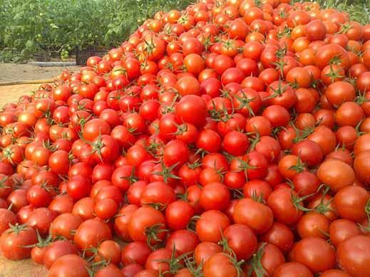 گوجه در مزرعه هزار و در بازار ۱۰ هزار تومان