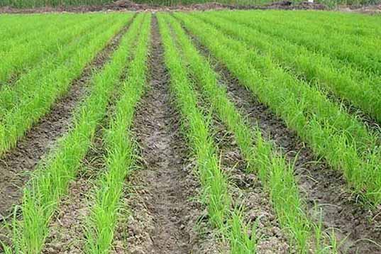 اگر برای برنجکاران آب نیست، به نیشکر هم آب ندهند