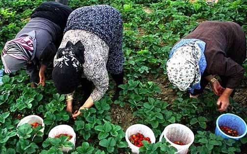 برداشت توت فرنگی شفیع آباد - گلستان