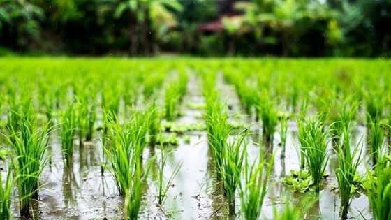 برنج کرمانشاه امسال قد نمیکشد